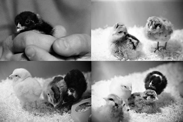 Chicks_Blog